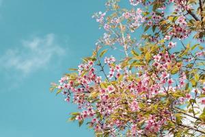 fleurs de cerisier roses photo