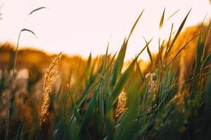 champ de blé à l'heure d'or