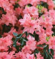 fleurs roses dans la lentille tilt shift