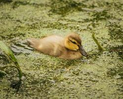 canard brun sur l'eau photo