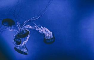 méduses dans les eaux bleues photo