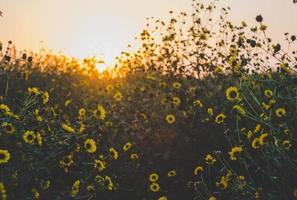 champ de fleurs de marguerite jaune photo
