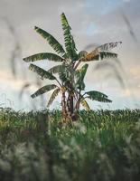 bananier sur champ d'herbe verte