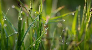herbe avec des gouttes de rosée