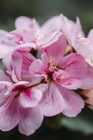 fleur rose en macro