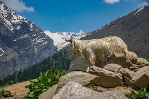 chèvre de montagne sur la falaise pendant la journée photo