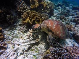 tortue brune et grise sous l'eau
