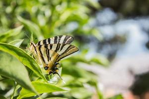 papillon brun et noir sur les feuilles photo