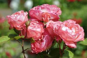 groupe de fleurs rouges