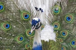 paon avec plumes