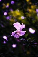 fleur d'hibiscus pourpre photo
