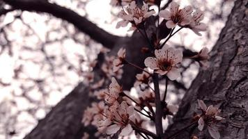 arbre fleur de cerisier