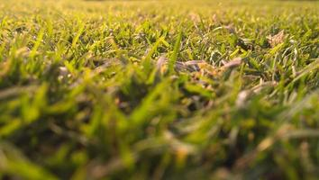 gros plan de l'herbe verte photo