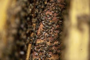 essaim d'abeilles photo
