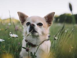 chihuahua blanc et brun photo