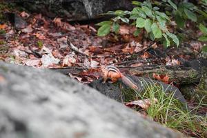 écureuil dans les bois photo