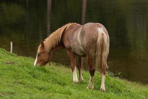 cheval à pied marron et blanc