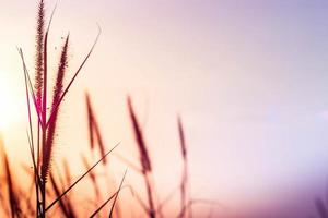herbe sauvage au coucher du soleil photo