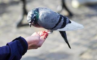 pigeon perché sur une main