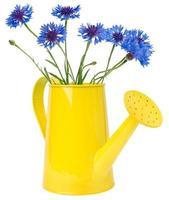 Arrosoir bleuets, isolé sur blanc photo