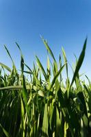 champ de blé vert photo