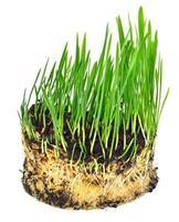 herbe de blé verte avec des racines photo