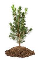 jeune arbre d'épinette photo