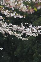 image de fleur de cerisier