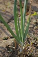 racines, feuilles et bulbe d'oignon en développement