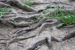Image de racines d'arbres d'aubépine, poussant sur la voie, provoquant un risque de trébuchement photo
