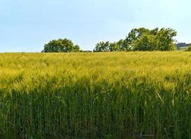 Getreidefeld photo
