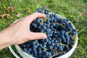 récolte de raisins photo
