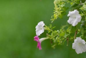 pétunias dans des pots suspendus. (Petunia hybrida vilm.)