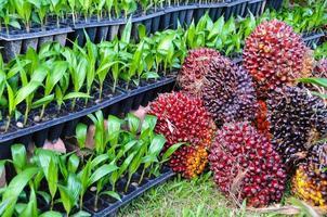 plants de palmier à huile photo