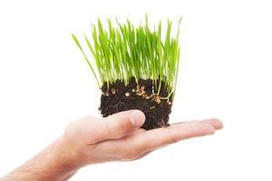 herbe de blé fraîche photo