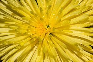 Macro de chrysanthème jaune photo