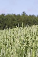 blé 2 photo