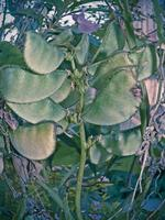 lablab purpureus l., pawata, papilionaceae, légumineuses, photo