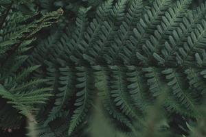 frondes de fougère verte