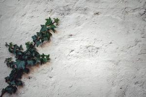 Lierre vert poussant sur un mur blanc photo
