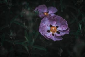 deux coquelicots orientaux roses photo