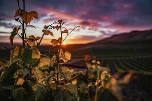 gros plan, de, feuilles, dans, vignoble, à, coucher soleil