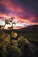 gros plan, de, feuilles vertes, dans, champ, à, coucher soleil photo