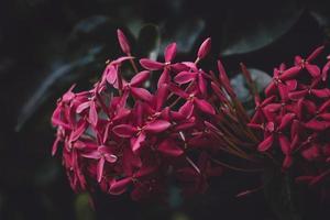 gros plan, de, jasmin rouge, fleurs