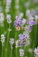 fleurs violettes en macro photo