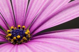fleur rose avec stigmate jaune