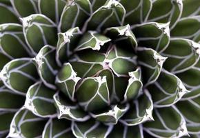 gros plan, de, plante succulente