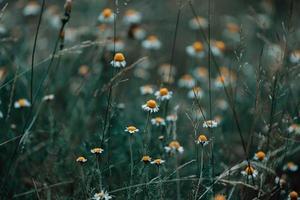 marguerites dans l'herbe photo