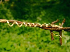 vrille d'une plante de courge éponge photo