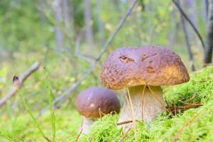 petits cèpes dans les bois photo